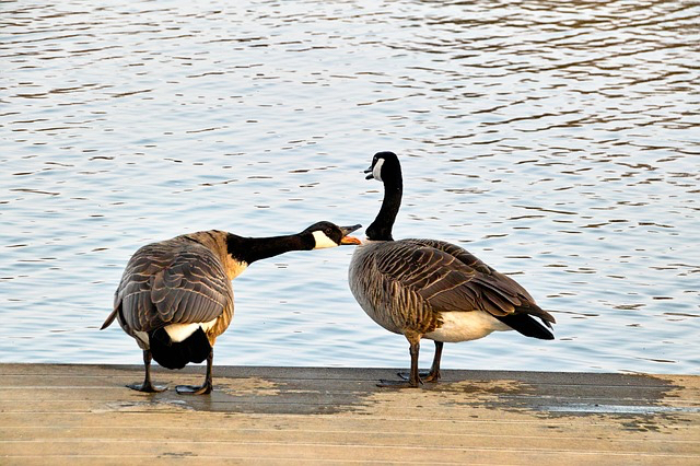 blog-pix-angry-geese